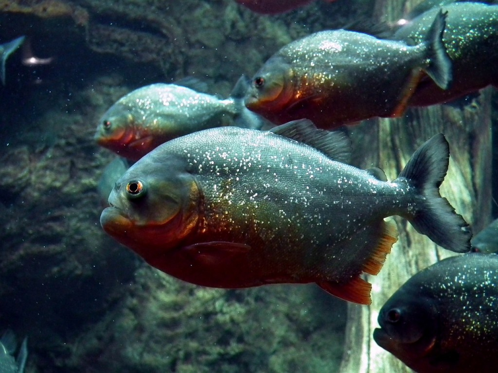 piranha-262575_1280